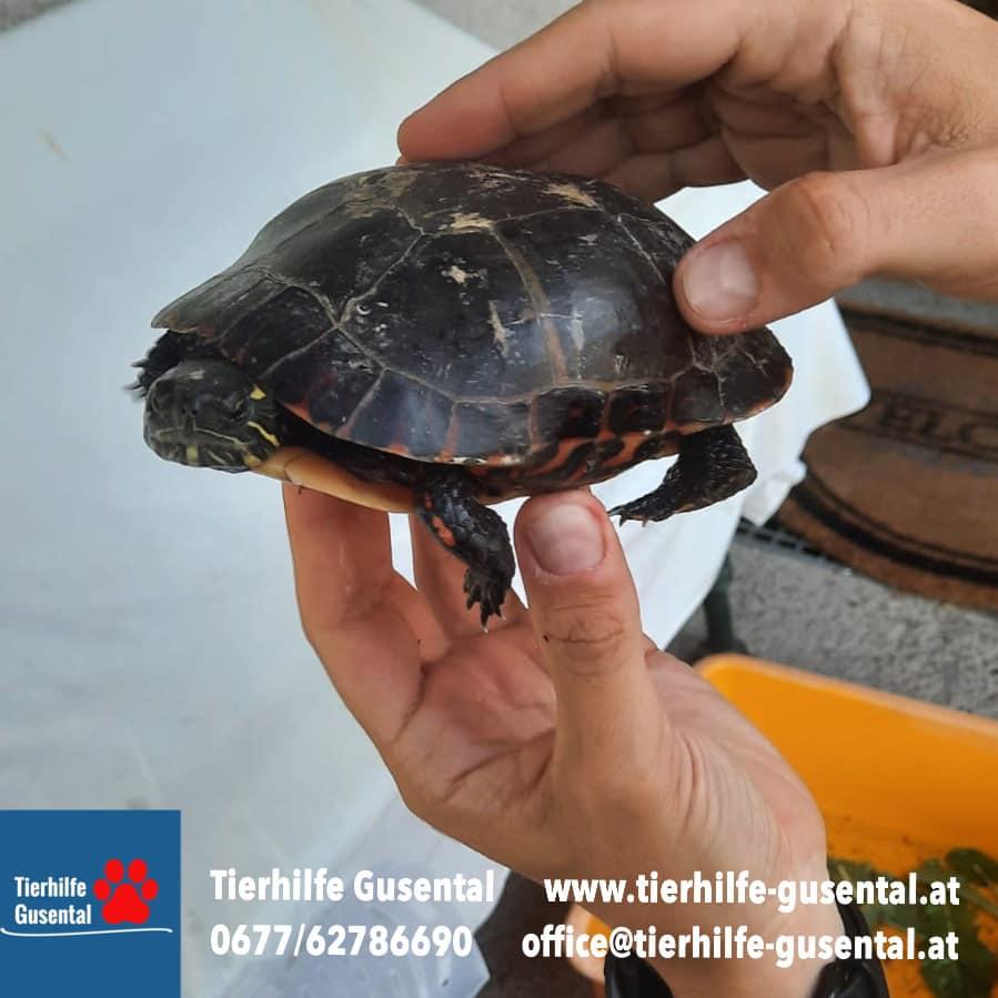 Ausgesetzte Schildkröte Mittertreffling